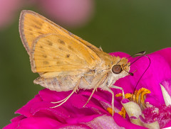 Fiery Skipper (tresed47) Tags: 2019 201908aug 20190821homeinsects august butterflies canon7d chestercounty content fieryskipper folder home insects pennsylvania peterscamera petersphotos places season skipper summer takenby us