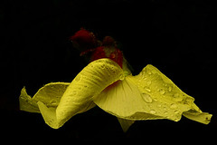 DSC09570 (Argstatter) Tags: bokeh blume blüten gelb makro wassertropfen natur pflanze flower