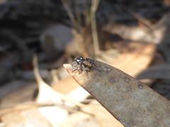 Sparkling in the Light (tessab101) Tags: maratus plumosus plumed peacock arthropods blue mountains nsw australia spider spiders