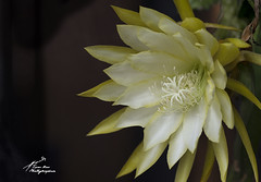 SHF_1096B_Epiphyllum oxypetalum (Tuan Râu) Tags: 1dmarkiii 14mm 100mm 135mm 1d 1dx 2470mm 2019 50mm 70200mm canon canon1d canoneos1dmarkiii canoneos1dx canada color flora floral flower beautifulinnature yellow black green leaf plant closeup blossom bloom blooming beautiful beauty background summer spring tuanrau tuan râu tuấnrâu2019 httpswwwfacebookcomrautuan71