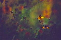 Defy and define darkness (Ans van de Sluis) Tags: 2019 ansvandesluis august bokehlicious botanic colours coreopsis flora floral flower green macro meisjesogen nature summer yellow darkness