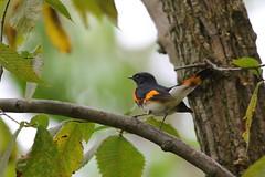 American Redstart (astro/nature guy) Tags: illinoisbird bird champaignbird robesonparkbird robesonpark redstart americanredstart