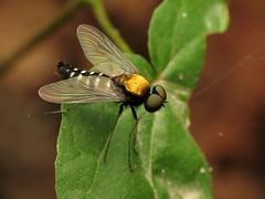 Golden-backed Snipe Fly (treegrow) Tags: rockcreekpark washingtondc nature lifeonearth raynoxdcr250 arthropoda insect diptera fly rhagionidae chrysopilusthoracicus