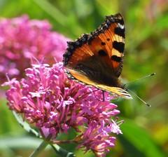 Butterfly (Mark C (Downloadable)) Tags: orange tortoiseshell butterfly pink buddleia flower calstock cornwall englanduk