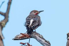 DSC_6129 flicker (eyegoo) Tags: northernflicker flicker bird