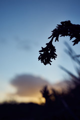 Morning Light (Stueyman) Tags: sony alpha a7 a7ii wa westernaustralia australia au capeperon rockingham perth sunrise plant zeiss batis batis240cf 40mm outside nature sky clouds goldenhour captureone