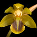 [Sumatra, Indonesia] Dendrochilum dempoense J.J.Sm., Bull. Jard. Bot. Buitenzorg, sér. 2, 25: 9 (1917)