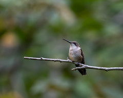 613A2048 (DavidMC92) Tags: canon eos 7d mark ii ef100400mm l rubythroated hummingbird abbots mill nature center sussex county delaware milford bird