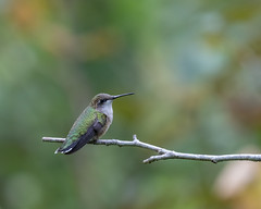 613A2024 (DavidMC92) Tags: canon eos 7d mark ii ef100400mm l rubythroated hummingbird abbots mill nature center sussex county delaware milford bird