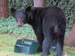 Surprise! Surprise! (kfocean01) Tags: nature wildlife animal animals portrait outside fauna blackbear bears