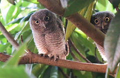 Baby Owls 3 (Autophocus) Tags: owls owlet birdofprey eyes feathers beaks shade backlighting trees branches leaves foliage nest perch urbanhabitat