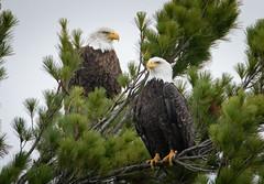 Nice Couple (Mark Polson) Tags: eagle bald bird animal sarona wi couple pair