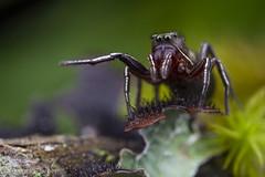 Tutelina sp. Jumping Spider