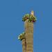 Big Saguaro, Little Falcon