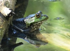 September 1, 2019 frog (EcoSnake) Tags: americanbullfrog lithobatescatesbeiana frogs amphibians september water wildlife idahofishandgame naturecenter