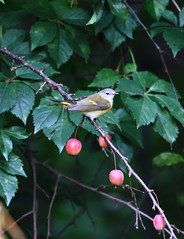american redstart on crab apple branch (madeofchalk) Tags: centralpark centralparkramble birdphotography birdwatching canon canonphotography canon6d americanredstart