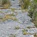 Columbus Limestone (Middle Devonian; North Side Quarry, Kelleys Island, Lake Erie, Ohio, USA) 24