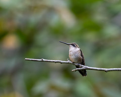 613A2044 (DavidMC92) Tags: canon eos 7d mark ii ef100400mm l rubythroated hummingbird abbots mill nature center sussex county delaware milford bird