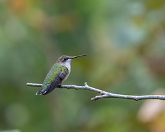 613A2004 (DavidMC92) Tags: canon eos 7d mark ii ef100400mm l rubythroated hummingbird abbots mill nature center sussex county delaware milford bird