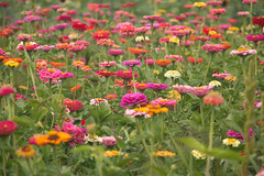 Zinnias - Explored September 2, 2019 (Sandra Mahle) Tags: zinnias flowers nature ngysaex ngysa explore