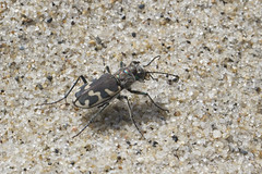 Big Sand Tiger Beetle (brucetopher) Tags: tigerbeetle tiger beetle cicindela beach sand beachtigerbeetle insect 6 six legs sixlegs bug critter creature tiny beauty beautiful pattern elytra maculations shell camouflage fast elusive animal outdoor nature