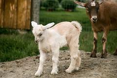 Kid (Sandra Mahle) Tags: goat animal wildlife nature baby kid