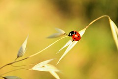 Marieta vola vola (montseny visions) Tags: insect nature montseny colour colours colors catalunya catalonia beetle naturalworld palautordera macro yellow light ngysa