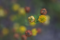 cousins (rockinmonique) Tags: tiny small little flower buds bloom blossom petal weed yellow orange green caribouregion fromthetop dof bokeh light moniquewphotography canon canont6s tamron tamron45mm copyright2019moniquewphotography