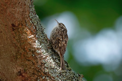 a treecreeper searching food (Franck Zumella) Tags: treecreeper bird wildlife grimpereau vie sauvage nature tree arbre green vert manger proie eat eating running trunk tronc leaves feuille wood bois leaf a7r tamron 150600