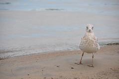 Plage de Verdun (abdallahh) Tags: seagull mouette goéland verdun québec canada plage saintlaurent fleuve river