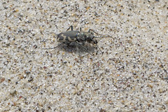 Tiger Beetle (brucetopher) Tags: tigerbeetle tiger beetle cicindela beach sand beachtigerbeetle insect 6 six legs sixlegs bug critter creature tiny beauty beautiful pattern elytra maculations shell camouflage fast elusive animal outdoor nature