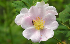 Wild Rose with beetle (pamfromcalgary) Tags: brownloweryprovincialpark plant botany wildflowers pamhawkes wildrose