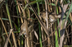 reed warbler (madziulka_a) Tags: reedwarbler nikon d850 nikkor 200500mm poland wildlife photography nature bird trzcinniczek