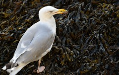 Cuxhaven - Seagull (cnmark) Tags: germany deutschland niedersachsen lowersaxony cuxhaven alteliebe möve möwe seagull krabbe crab animal wildlife nature natur ©allrightsreserved