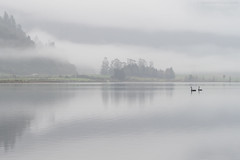 Poerua (S W Mahy) Tags: moana mist lake fog swans black nature soft outdoor no people reflections still dawn birds poerua west coast brunner