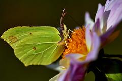 IMG_1548 (.rog3r1) Tags: butterfly schmetterling zitronenfalter canon 600d sigma 105mm macro