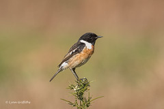 Stonechat - Male 501_9249.jpg (Mobile Lynn) Tags: chatsrelatives nature stonechat birds chat bird fauna passerine saxicolarubicola wildlife godalming england unitedkingdom coth specanimal coth5 ngc npc