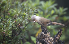 Rusty fronted Barwing (richard.mcmanus.) Tags: barwing yunnan china chinesebirds yunnanbirds mcmanus gettyimages bird wildlife rustyfrontedbarwing