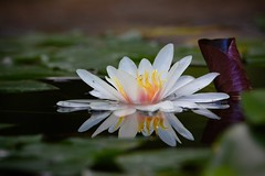 Waterlily (michel David photography) Tags: nénuphar waterlily
