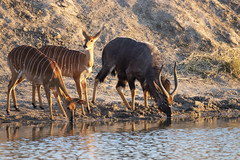 "3 nyala antelopes drinking cautiously. Note the very marked sexual dimorphism. Elephant Plains Game Lodge, Sabi Sands Game Reserve, Kruger National Park, South Africa. (grumpybaldprof) Tags: ""canon80d"" ""sigma 150600mm f563 dgoshsmsport"" ""elephantplainsgamelodge"" ""sabisandsgamereserve"" ""krugernationalpark"" ""southafrica"" limpopo mpumalanga ""big5"" wildlife lion hippo rhino elephant buffalo ""painteddog"" ""africanhuntingdog"" cheetah ""gamereserve"" lodge ""gamedrives"" ""gamewalks"" animals ""bigcat"" ""gamedrive"" ""gamewalk"" ""wildanimals"" bird squirrel calf ""elephantcalf"" hyena zebra wildebeest giraffe warthog ""treesquirrel"" ""smith'sbushsquirrel"" ""commonzebra"" ""plainszebra"" vervet ""vervetmonkey"" ""nkuhumapride"" brownivorypride"" leopardess lioness waterbuck clan pride pack herd den birds avians impala horns antlers jackal ""sidestripedjackal"" ""drakensbergmountains"" nyala kudu colour water drinking"