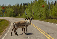 The road to the north (liuskaa) Tags: reindeer animal lapland lappi finland suomi summer wildlife road travel morning forest light sky