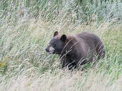 Black bear (alanrharris53) Tags: canada waterton alberta black bear mammal