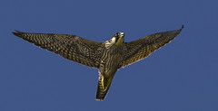 Peregrine Falcon (Wild) - I'm the Fastest animal on the planet - But don't ask me to chase a Pigeon... (Ann and Chris) Tags: fast fastest animal amazing awesome beautiful close flying falcon impressive incredible incoming predator raptor peregine stunning wild