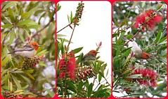 Scarlet Honeyeaters decorate my garden... (Anni - with camera) Tags: scarlethoneyeater myzomelasanguinolenta callistemon inmygarden red scarlet green honeyeater