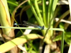 "Damselfly ...... Being able to photograph the first damselfly of the year.  It flies up very often and then sits down in exactly the same place ""weird but true"". (gilberteplessers) Tags:"