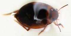 3.1 mm predacious diving beetle (ophis) Tags: coleoptera adephaga dytiscidae hydroporinae hydroporini hygrotus hygrotussayi predaciousdivingbeetle