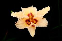 Hémérocalle IMG_1738 (Paul_Paradis) Tags: blossom fleur flora floral flower garden jardin plant plante nature natural hemerocalle daylily summer ete brillant macro canada quebec iledorleans