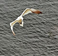 Gannet in flight (Gill Stafford) Tags: gillstafford gillys image photograph wales bird gannet gull sea seagull fly flight yorkshire bempton cliffs rspb