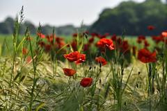 Nostalgie du coquelicot ! (Excalibur67) Tags: nikon d750 sigma globalvision contemporary 100400f563dgoshsmc paysage landscape flowers fleurs coquelicots poppies pavots rouge red champ campagne
