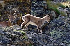 Piccoli stambecchi crescono.. (silvano fabris) Tags: faunaalpina mountain canonphotography wildlifephotography photonature animals animali stambecchi